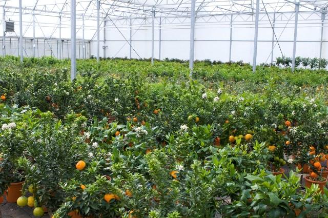 Conseils et astuces pour avoir un magnifique jardin planter des agrumes dans son jardin - Agrumes en pot ...