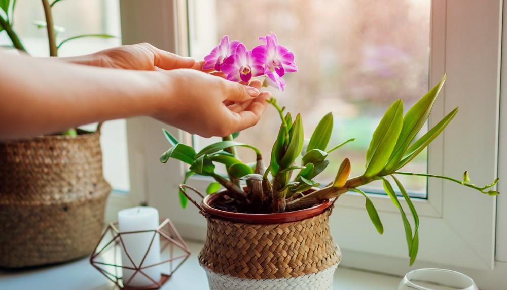 Comment entretenir de l'orchidée Phalaenopsis ?