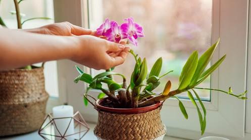 Comment entretenir l'orchidée Phalaenopsis ?